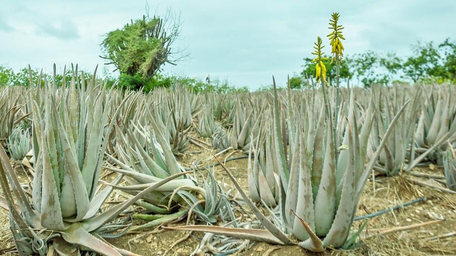 Aloe-Vera-Farm1